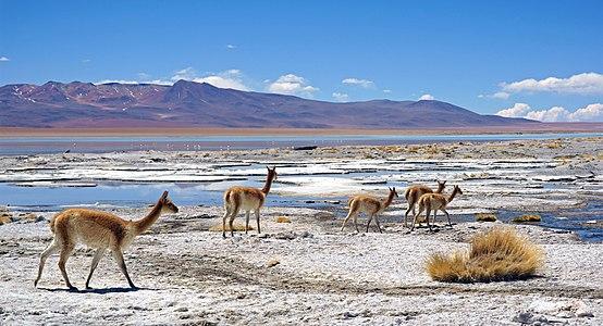 Vicugna vicugna in Salar de Chalviri, Bolivia.