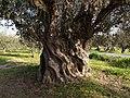 Vieil olivier (407747990).jpg