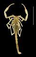 75px vietbocap canhi female paratype, dorsal aspect   zookeys 071 001 g003 4