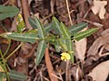 Vigna lanceolata.jpg