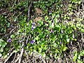 Viola alba subsp. violacea sl10.jpg