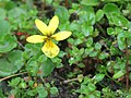 Viola biflora - Yellow Wood Violet on way from Gangria to Hemkund at Valley of Flowers National Park - during LGFC - VOF 2019 (6).jpg