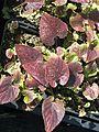 Viola yezoensis - Flickr - peganum (1).jpg