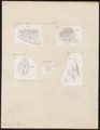 Vipera berus - 1700-1880 - Print - Iconographia Zoologica - Special Collections University of Amsterdam - UBA01 IZ11700167.tif