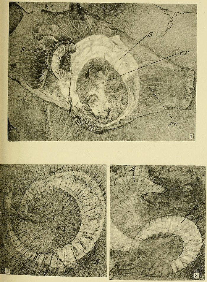Walcott Cambrian Geology and Paleontology II plate 10.jpg
