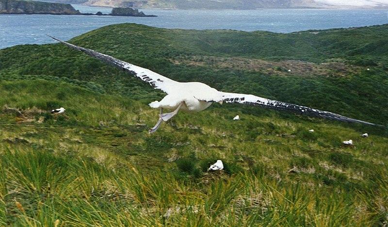 File:Wandering Albatross over South Georgia.jpg