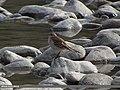 Water Pipit (Anthus spinoletta) (15272298674).jpg