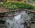 Water lilies in a gymnasium garden pond at Brno, Czech Republic.jpg