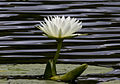 Water lilly 800 style (14914775902).jpg