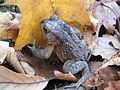 We found this cold toad on the trail. Hope he finds a place to hunker down for the winter.... - panoramio.jpg