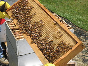 Western Honey Bees and Honeycomb.JPG