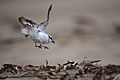 "Western Snowy Plover (Charadrius nivosus) landing, while challenging another Snowy Plover - UPDATE 42011 Now split as ""Charadrius nivosus"".jpg"