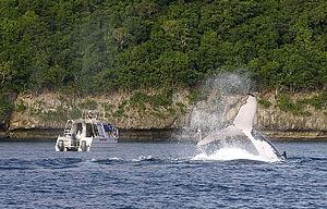Vavaʻu - Whale watching in Vava'u