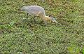 Whistling Heron (Syrigma sibilatrix) (29071677546).jpg