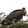 White-backed Vulture, Gyps africanus, at Kgalagadi Transfrontier Park, Northern Cape, South Africa. (46112754722).jpg
