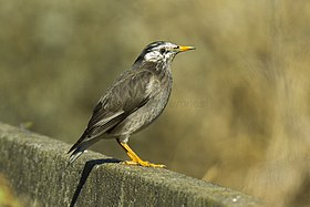 White-cheeked Starling - Kyushu - Japan S4E1770 (22801355535).jpg