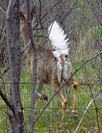 White-tailed deer, tail up.jpg