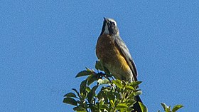 White-throated Robin 2.jpg