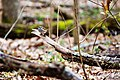 White-throated sparrow (25844683231).jpg