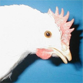 Debeaking - Beak trimmed