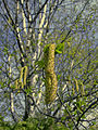 White birch catkin (Whitefish I).JPG