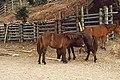 Wild horse of cape toi , 都井岬の野生馬 - panoramio.jpg