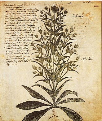 Dipsacus fullonum -  D. fullonum is identifiable in the 6th-century Vienna Dioscurides, fol. 99