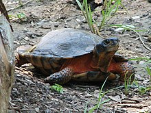 A wood turtle lifting its head slightly while on rocky soil.