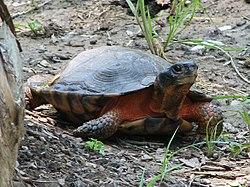 Glyptemys insculpta (tortue des bois)
