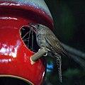Wren Feeding (4868597780).jpg