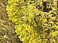 Xanthoria calcicola 57150492.jpg