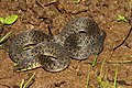 Xylophis sp. Munnar.jpg
