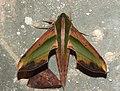 Yam Hawkmoth Pergesa acteus by Dr. Raju Kasambe DSCN0579 (2).jpg