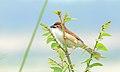 Yellow-eyed Babbler of West Bengal.jpg