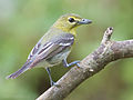 Yellow-throated Vireo by Dan Pancamo 1.jpg