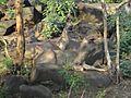 Yercaud sambar deer.jpg