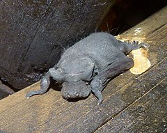 Young Angolan Free-tailed Bat (Mops condylura) (6021648155), crop.jpg