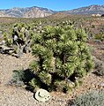 Yucca brevifolia bushy.jpg