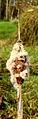 Zaadpluizen grote lisdodde (Typha latifolia). Locatie, De Famberhorst 01.JPG