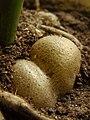 Zamioculcas zamiifolia tuber.JPG