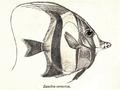 ZanclusCornutus.png