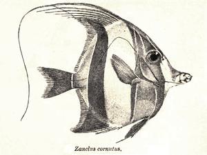 Moorish idol - Image: Zanclus Cornutus