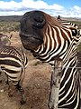 Zebra in Malmsbury.jpg