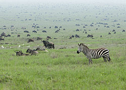 Zebra in the Serengeti Wildebeest Migration.jpg