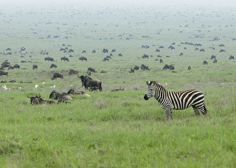 Zebra and the Wildebeest migration, Serengeti National Park. From 10 of the Best Experiences on a Safari in Africa