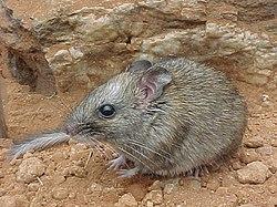 Un rat des rochers à grosse queue (nom scientifique: Zyzomys pedunculatus)