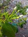 """""""Arya"""" Combretum indicum in Pilangsari 2019 3.jpg"""