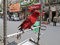 'Chained Parrot' on Cau Go street..JPG