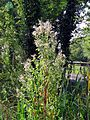 'Epilobium hirsutum' Great Hairy Willowherb in Hatfield Broad Oak Essex England 1.jpg