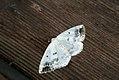 (1958) Clouded Silver (Lomographa temerata) (3695731060).jpg